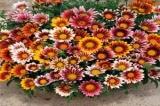 Hoa Cúc Gaza