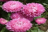Hoa Cúc Đài Loan