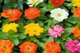 Hoa Cúc lá nhám