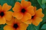 Hoa Mắt nhung