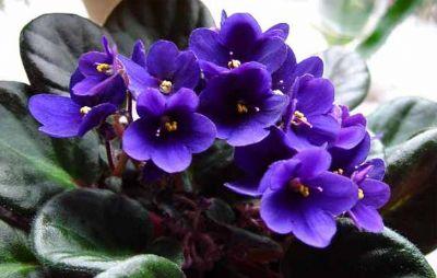 [Hình: y-nghia-cac-loai-hoa-violet-20130507150739.jpg]