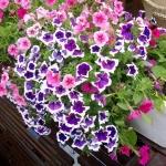 Kỹ thuật trồng và chăm sóc hoa Dạ yến thảo