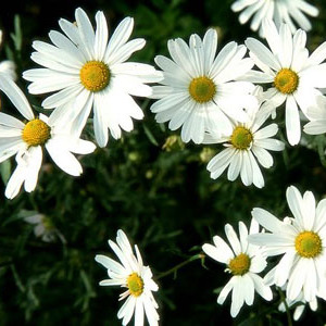 cuc-trang-chrysanthemum6