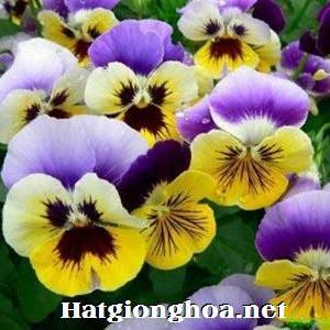 hoa-buom-viola1