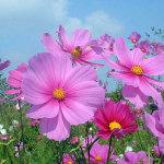 Hoa Cánh bướm