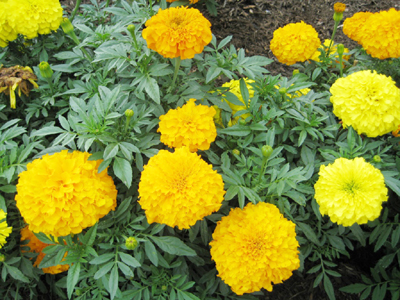 Kỹ thuật trồng và chăm sóc hoa Cúc vạn thọ