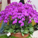 Kỹ thuật trồng và chăm sóc hoa lan hồ điệp