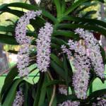 Kỹ thuật đơn giản trồng hoa lan rừng