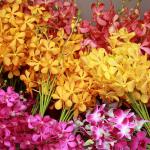 Kỹ thuật trồng hoa lan cắt cành – nhóm lan Mokara