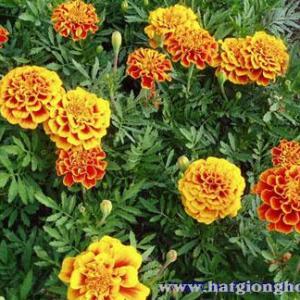 van-tho-phap-french-marigold5