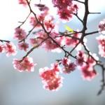 Hoa anh đào Nhật Bản nở rực giữa thủ đô