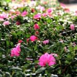 20 loài hoa đẹp nên có trong nhà dịp Tết