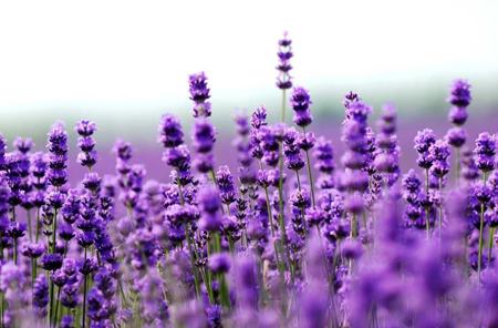 Hoa Oải hương   Lavender
