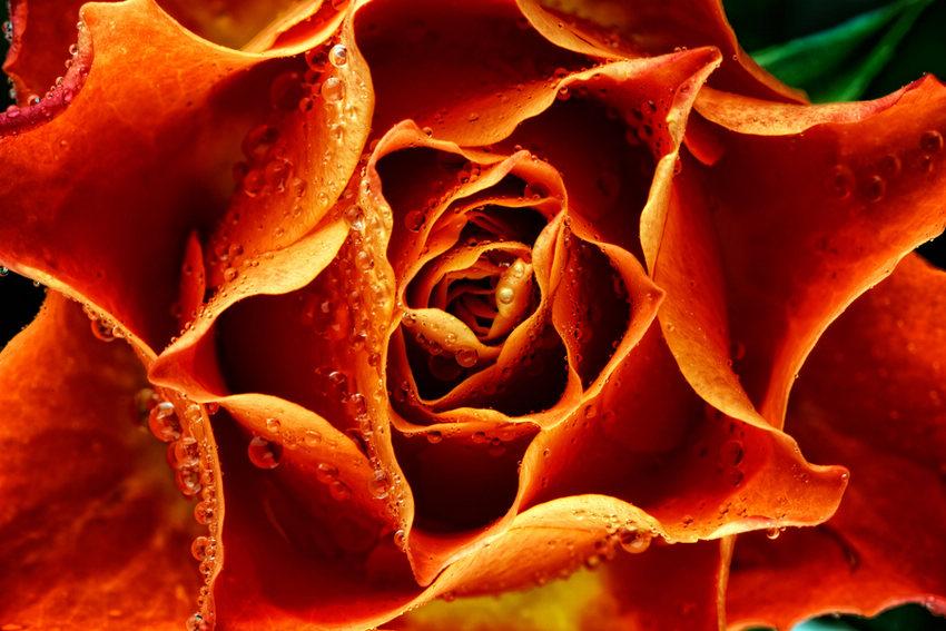 anh can canh hoa 11 - Hiệu quả kinh tế từ hoa ly