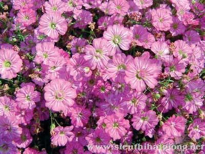 baby gypsy deep rose4 - Công ty hạt giống hoa, cửa hàng hạt giống hoa đẹp chất lượng cao