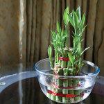 Cách trồng hoa thủy canh trong bình thủy tinh