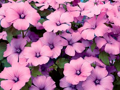 cam quy lavatera - Công ty hạt giống hoa, cửa hàng hạt giống hoa đẹp chất lượng cao