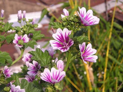 cay hoa ngan ngay - Sự khác biệt giữa cây ngày dài và cây ngày ngắn