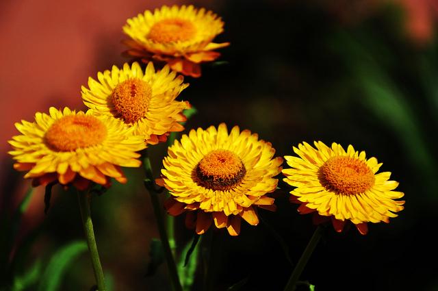 hoa bat tu - Sự tích hoa bất tử