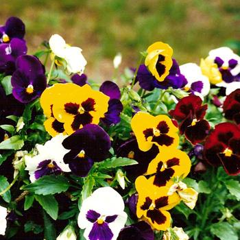 hoa buom ban se - Sự tích hoa Panse