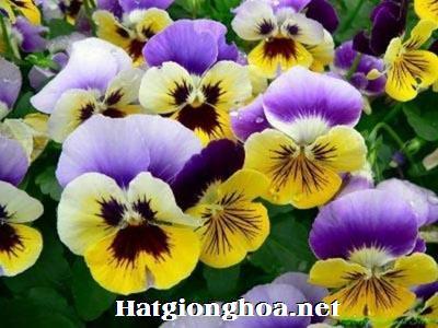 hoa buom viola1 - Hoa Bướm Viola