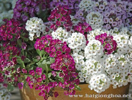 hoa cai gio alyssum9 - Hoa Cải gió