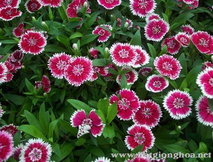hoa cam chuong dianthus1 - Hoa Cẩm chướng