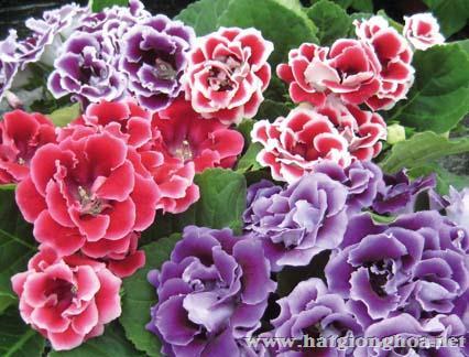 hoa cam nhung gloxinia3 - Hoa Cẩm nhung