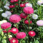 Kỹ thuật trồng và chăm sóc hoa Cúc