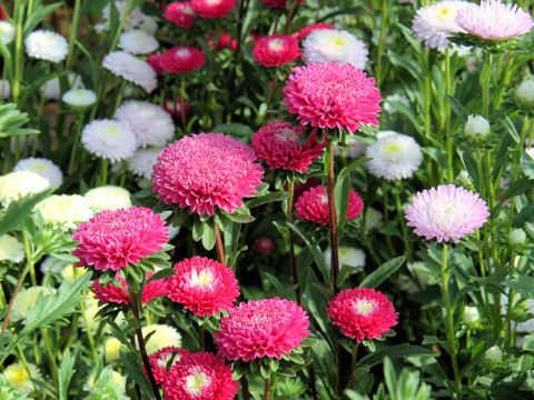 hoa cuc dai loan - Hiệu quả kinh tế từ hoa ly
