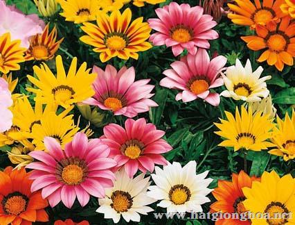 hoa cuc gaza3 - Hoa Cúc Gaza