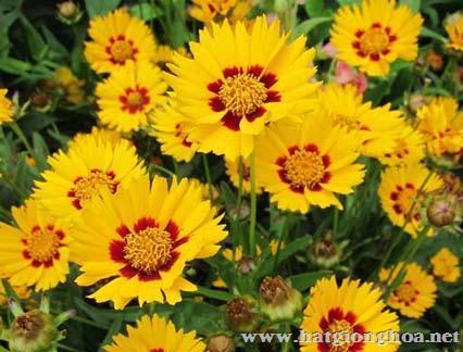 hoa cuc vang don coreopsis5 - Hoa Cúc vàng đơn