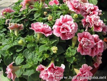 hoa da yen thao kep1 - Hoa Dạ yến thảo kép