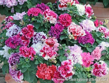 hoa da yen thao kep2 - Hoa Dạ yến thảo kép