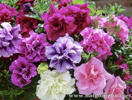 hoa da yen thao kep3 - Hoa Dạ yến thảo kép