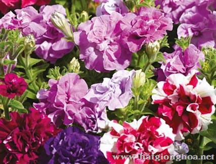 hoa da yen thao kep4 - Hoa Dạ yến thảo kép