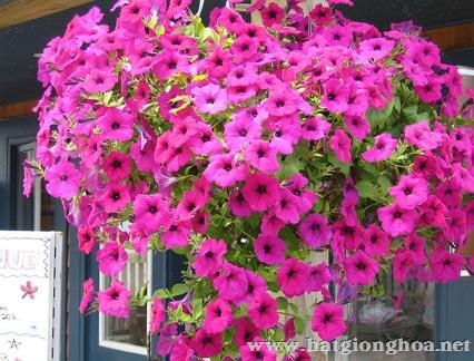 hoa da yen thao pentunia1 - Hoa Dạ yến thảo kép