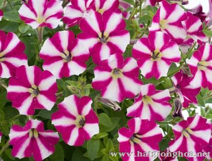 hoa da yen thao pentunia2 - Hoa Dạ yến thảo kép
