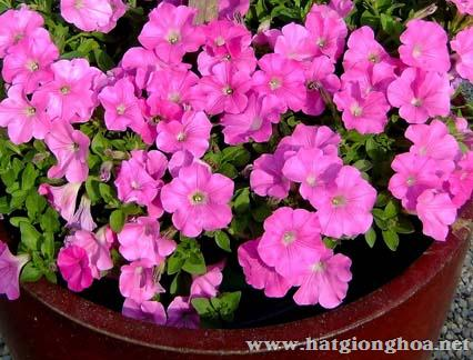 hoa da yen thao pentunia3 - Hoa Dạ yến thảo kép