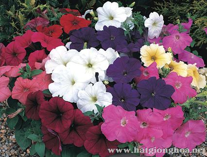 hoa da yen thao pentunia6 - Hoa Dạ yến thảo kép