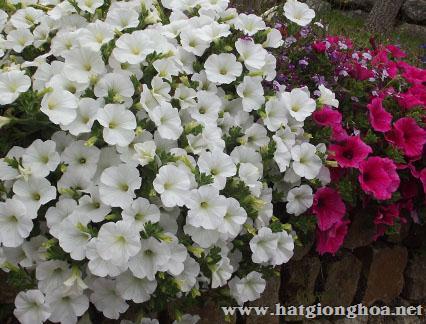 hoa da yen thao pentunia7 - Hoa Dạ yến thảo kép