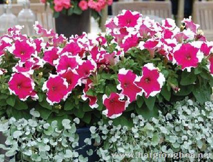 hoa da yen thao pentunia8 - Hoa Dạ yến thảo kép