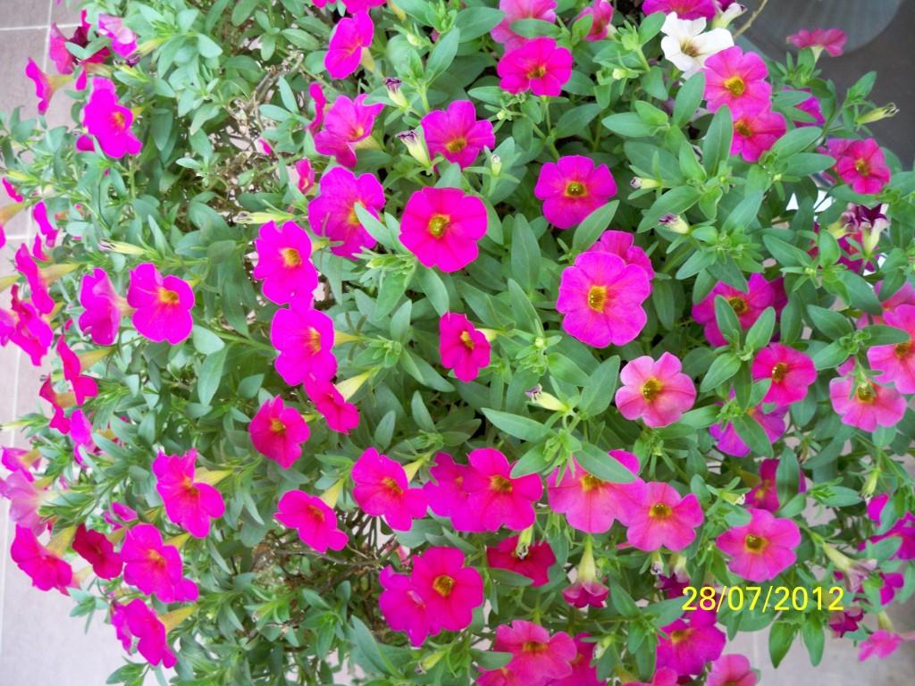 hoa dep ban cong 2 - Những loại hoa treo ban công đẹp