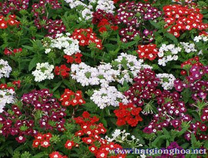 hoa diem chau verbena8 - Hoa Diễm châu