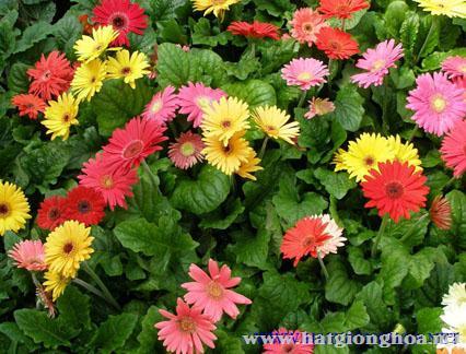 hoa dong tien gerbera13 - Công ty hạt giống hoa, cửa hàng hạt giống hoa đẹp chất lượng cao