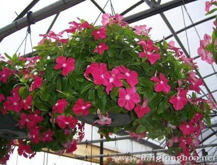 hoa dua can ru31 - Hoa Dừa cạn rủ