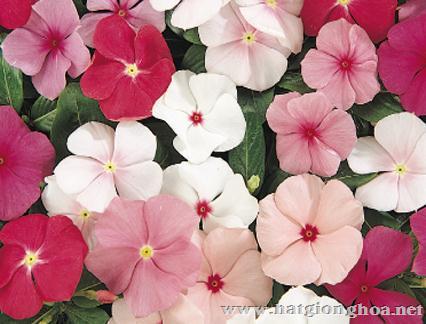 hoa dua can vinca2 - Hoa Dừa cạn