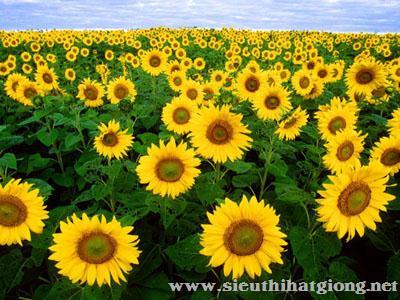 hoa huong duong helianthu5 - Hoa Hướng dương lùn