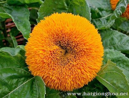 hoa huong duong helianthus11 - Hoa Hướng dương lùn