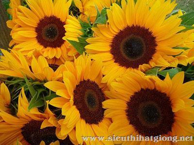 hoa huong duong helianthus2 - Hoa Hướng dương lùn